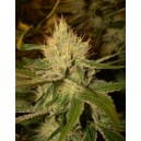 Cannalope Haze 6 stk Regular