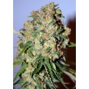 Critical 10 stk Feminized