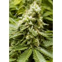 Early Widow 10 stk Feminized