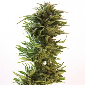 Amnesia Lemon 10 stk Feminized