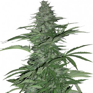 Morning Glory 10 stk Feminized