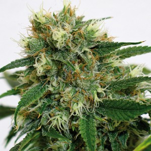 Phatt Fruity 10 stk Feminized