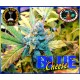 Blue Cheese 10 stk Feminized