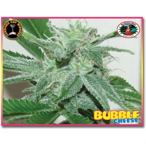 Bubble Cheese 5 stk Feminized