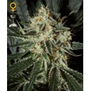 Cheese - 10 stk feminized