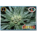 Cheesus 5 stk Feminized