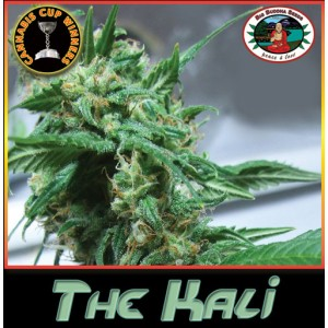 The Kali 5 stk Feminized