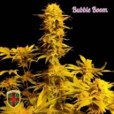Bubble Boom  - 5 stk. Feminized