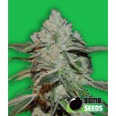 Atomic Bomb - 5 stk. Feminized