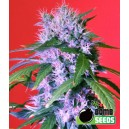 Berry Bomb - 5 stk. Feminized