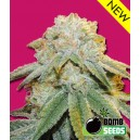 Bubble Bomb - 5 stk. Feminized