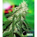 BuzZ Bomb - 5 stk. Feminized