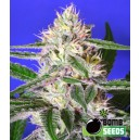 Cheese Bomb - 5 stk. Feminized