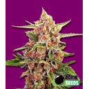 Cherry Bomb - 5 stk. Feminized
