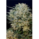 Sugar Gom  - 5 stk Feminized