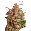 Brainstorm ®  - 5 stk Feminized