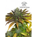 California Orange ®   - 5 stk Feminized