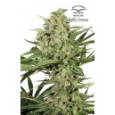 Dutch Cheese® - 5 stk Feminized