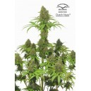 Dutch Haze ® - 5 stk Feminized