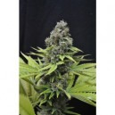 Shark - 5 stk Feminized