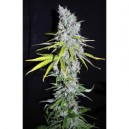 Skunk Haze - 5 stk Feminized