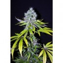 Yummy - 5 stk Feminized