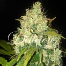 Black Russian - 5 stk Feminized