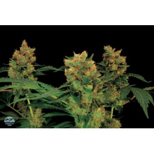Blue Hash 5 stk Feminized