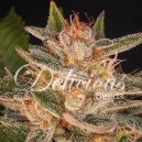 Cheese Candy - 5 stk Feminized