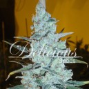 Critical Jack Herer - 5 stk Feminized