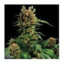 California Hashplant 5 stk Feminized
