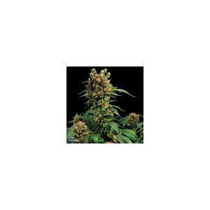 California Hashplant 10 stk Feminized