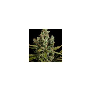 Cheese 5 stk Feminized