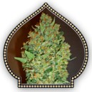 Cheese Berry - Skunk frø - 5 stk feminized