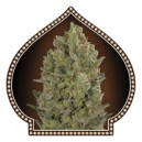 00 Cheese - Skunk frø - 5 stk feminized