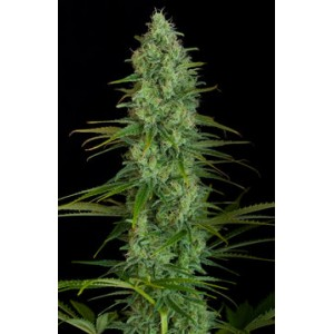 Critical Jack 10 stk Feminized