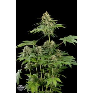 Moby Dick 5 stk Feminized