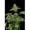 Moby Dick 10 stk Feminized