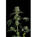 Moby Dick2 5 stk Feminized