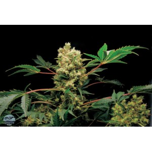 Power Kush 5 stk Feminized