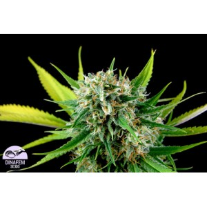 Royal Haze 10 stk Feminized